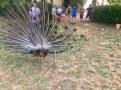 Persiguiendo al pavo real